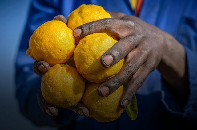 Hands holding lemons